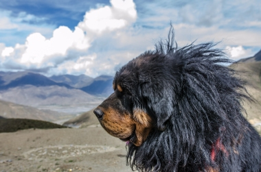 The China-Nepal-Friendship Highway. A Tibetian dog.
