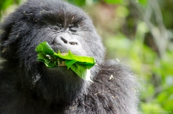 The Rwandan Mountain Gorillas, Volcano National Park