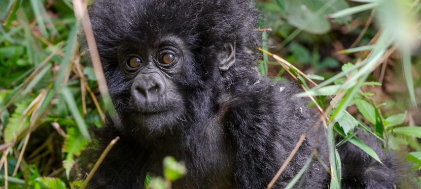 Photo Gallery: The Mountain Gorillas.